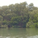 Mangroves on Shell Key
