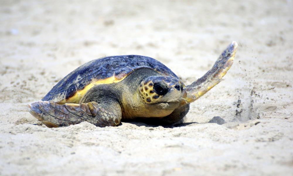 LH_Turtle