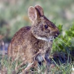 marsh_rabbit_3