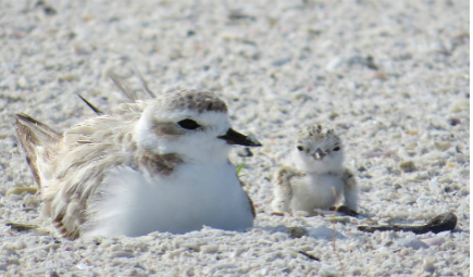 shorebirds-nesting-slider